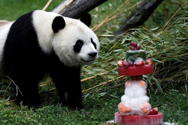 旅居西班牙大熊猫竹莉娜迎首个生日 享用美味蛋糕