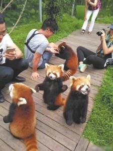 游客与小熊猫亲密接触 网友质疑:合法吗?