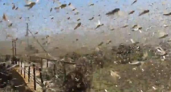 遮天蔽日!俄爆发恐怖蝗灾 农作物毁坏严重