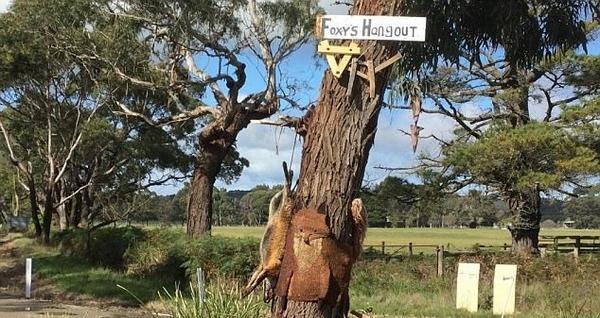 澳狐狸因数量太多被捕杀 尸体被剥皮钉在树上