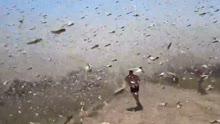 俄罗斯蝗灾虫来如暴雨 渔民一捞一大把