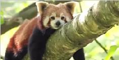 曝成都景区游客可与小熊猫亲密接触 引网友质疑
