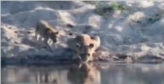 """画风奇特!南非20头狮子河边""""列队""""喝水"""