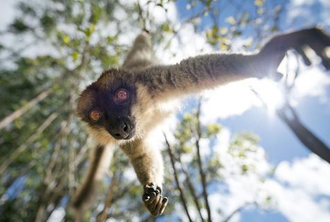 马达加斯加狐猴倒挂玩蹦极 身手不凡