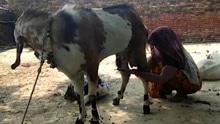 印度一公羊竟能产奶 村民争相赶来品尝