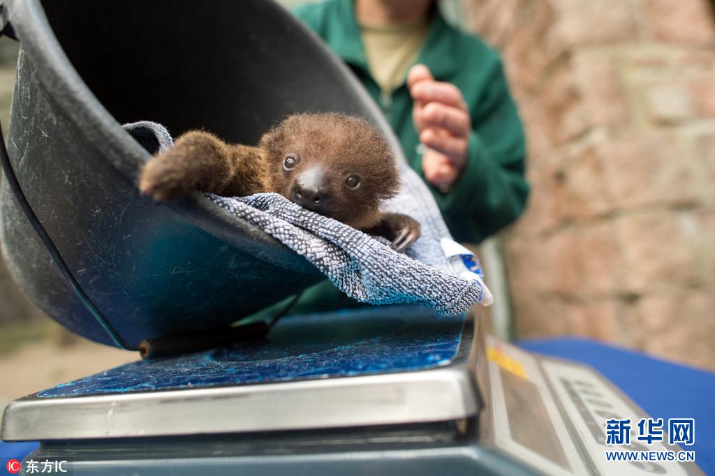 德国动物园树懒宝宝接受称重 慵懒模样萌萌哒
