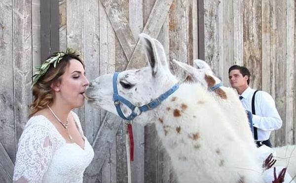 新人婚礼上惊现美洲驼 新娘激动尖叫被萌哭