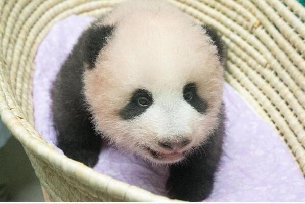 日本民众高度关注新生大熊猫宝宝 征名活动热烈响应
