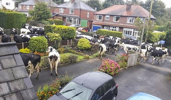 英40只奶牛出逃大闹村庄 破坏花园当街拉屎