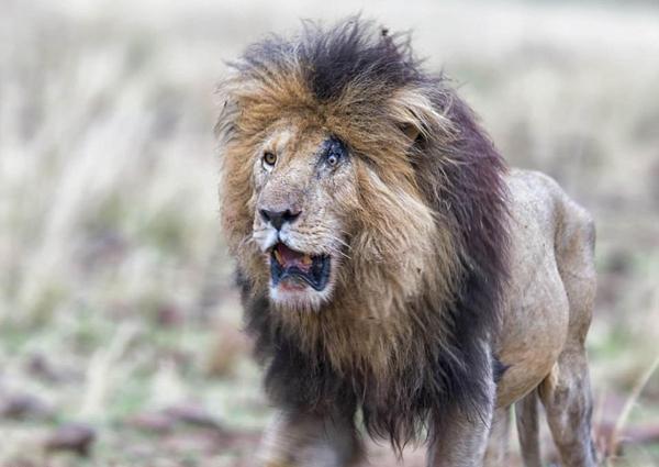 """肯尼亚狮子恶斗后左眼留疤似""""狮子王""""中反派"""