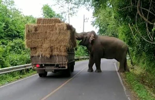 """泰国大象在公路旁拦停货车""""抢劫""""干草"""