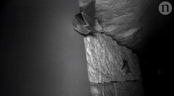 """蝙蝠撞窗是因为""""看""""不见它们"""