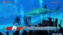 奇特体验!潜水爱好者与鲸鲨同游