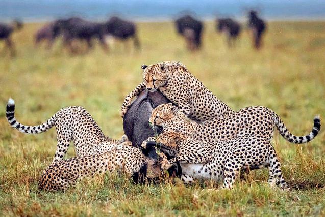 非洲角马惨遭5头猎豹合力围攻 沦为大餐