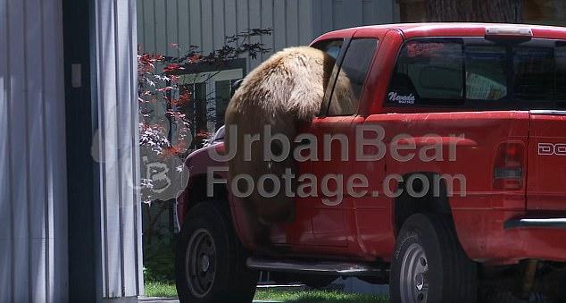难以置信!美棕熊爬入无人皮卡车驾驶座