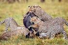 角马惨遭五猎豹合力围攻