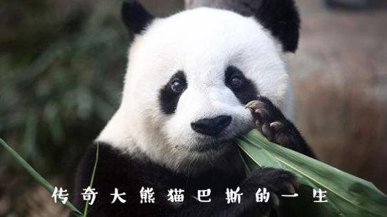 外媒:世界上最老圈养大熊猫去世 全球因它而悲