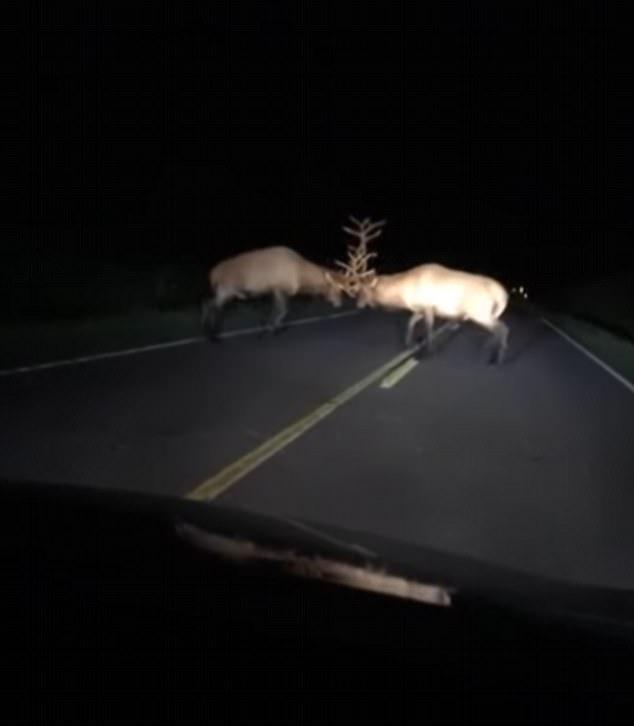 美两只公鹿夜晚激烈决斗势均力敌难分胜负