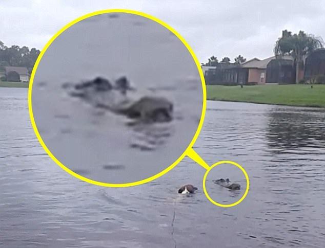 美狗狗洪水中游泳时从猎食鳄鱼身旁惊险逃生