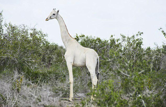 肯尼亚长颈鹿母子通体纯白似仙鹿 系患白毛症所致