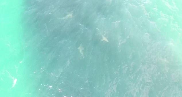 成群沙洲鲨惊现夏威夷海滩疯狂围捕鱼群