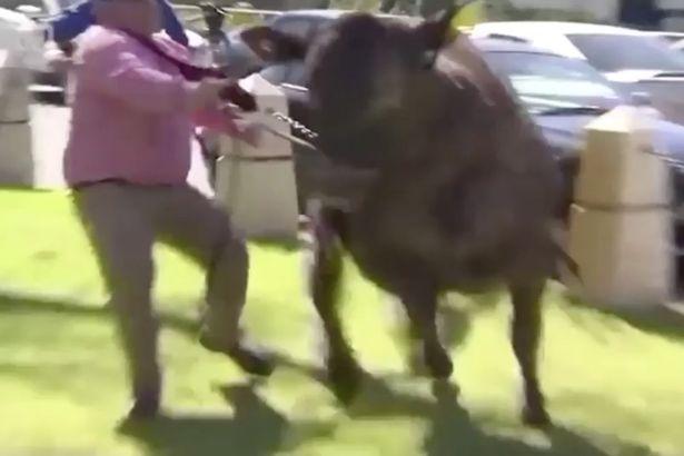 澳公牛拍广告片怯场逃跑 众人围追堵截终擒获