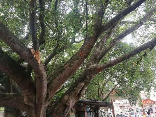 广州货车刮断1条树枝 被索赔18.8万