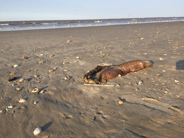 美国德州海岸惊现无眼怪 满嘴尖牙引专家猜测