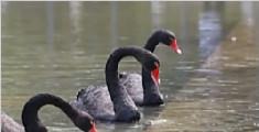 偷盗宰杀公园黑天鹅 被告人被判6个月罚千元