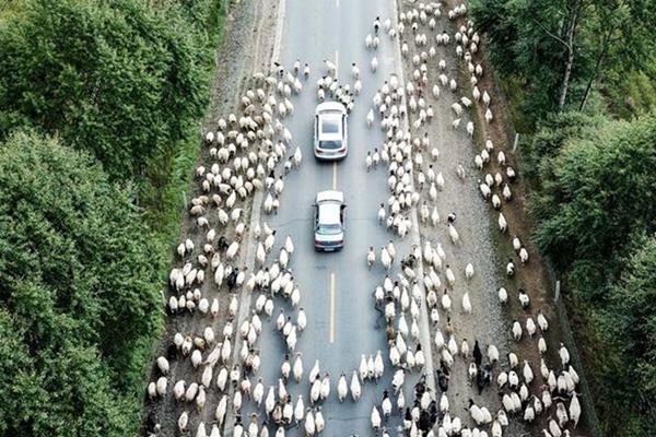 航拍青海牛羊转场 浩浩荡荡场面壮观
