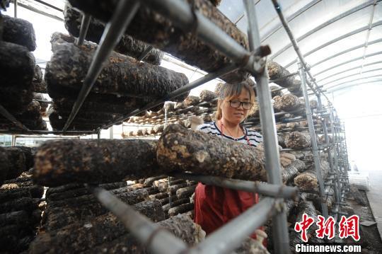 图为南张乡村民采菇。 屈丽霞 摄