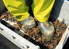 日本湖泊小龙虾泛滥 渔民踩碎当肥料