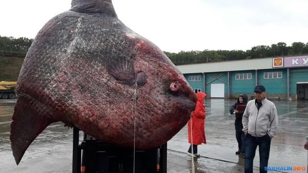 渔民耗时三天捕获一吨重巨鱼:上岸后只能拿去喂熊