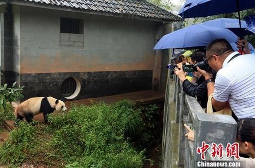 中国侨网9月17日,代表们举起相机和手机拍摄大熊猫。当日,来自加拿大、美国、澳大利亚等国家和地区的23名海外华文媒体代表探访中国大熊猫保护研究中心雅安碧峰峡基地。王磊 摄