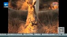 澳大利亚袋鼠泛滥成灾!