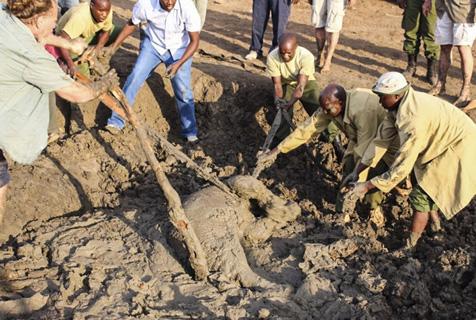 肯尼亚小象深陷泥潭 众人相救终脱险