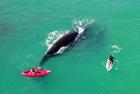 澳两女子划皮艇偶遇鲸鱼