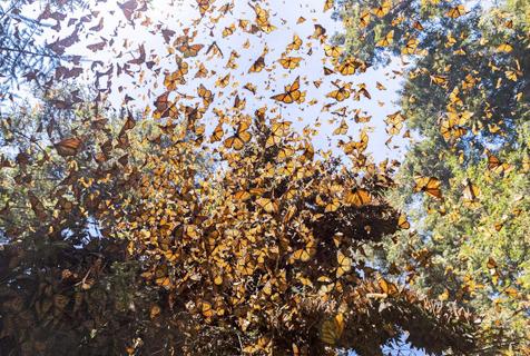 墨西哥帝王斑蝶大迁徙 场面壮观