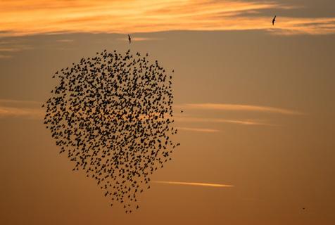 椋鸟群遭游隼猎食 机智抱团恫吓对手