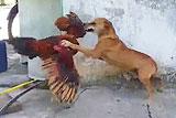 """巴西""""鸡狗大战"""" 狗狗惨败"""