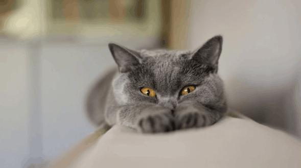 美专家称猫体内所携带寄生虫或可引发脑癌