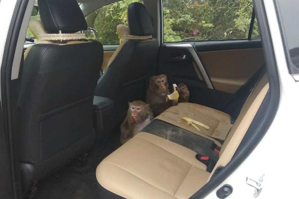 北京游客云南自驾游 猴子钻进车偷香蕉