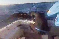 澳钓鱼者险被巨大马林鱼刺穿