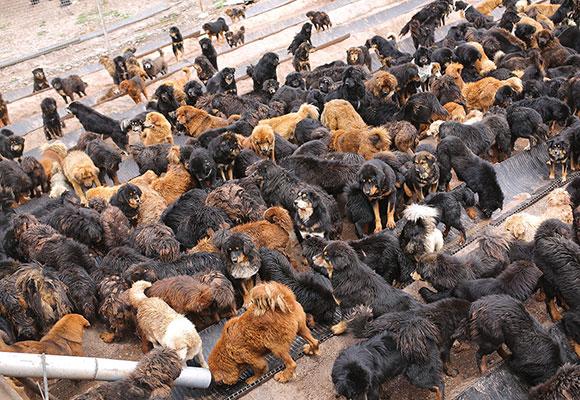 藏獒经济崩盘:曾售价上千万 如今竟变流浪狗