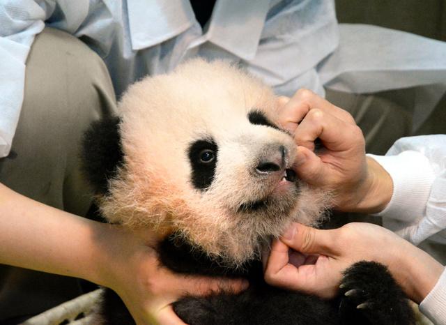 上野动物园熊猫宝宝迎来百天纪念日 名字将于近期公布