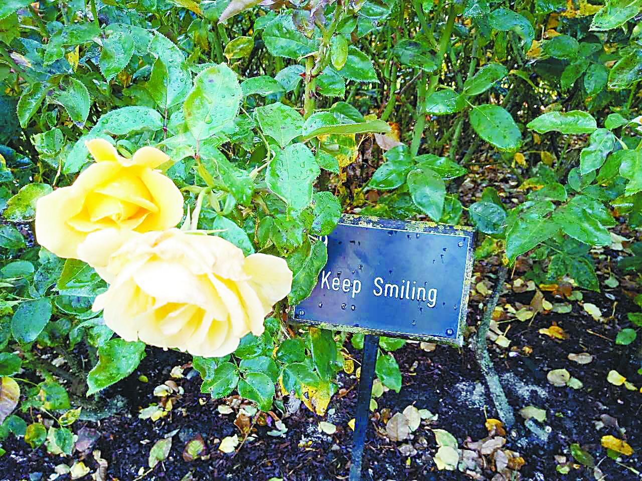 伦敦玫瑰园 花名尤胜花香