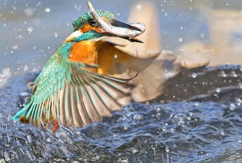 实拍翠鸟精彩捕食瞬间 诠释速度之美