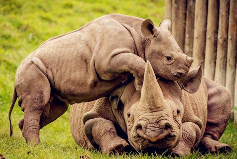 犀牛宝宝求关注 献吻捣乱可爱至极