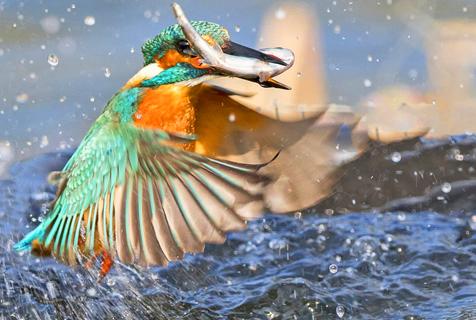 翠鸟精彩捕食瞬间 诠释速度之美