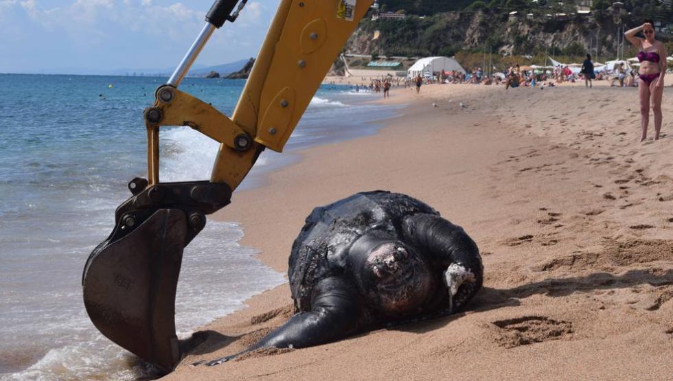 西班牙海滩发现2米长珍稀海龟 误食塑料垃圾死亡